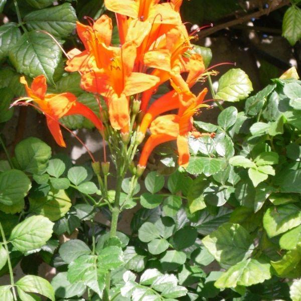 Bignonia Capensi Naranja