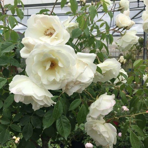 Rosas Trepadoras  10L