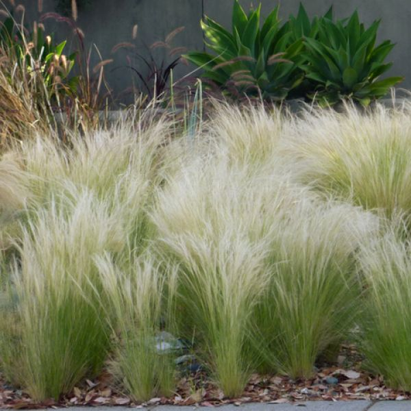 Stipa Maceta 12