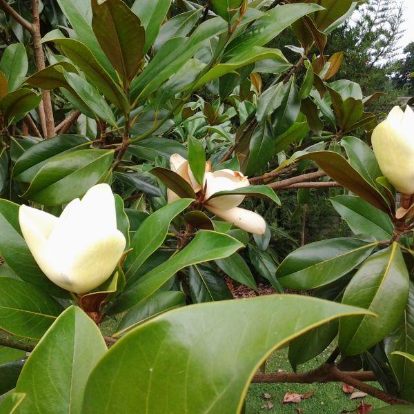 Magnolia Grandiflora 20 Lts