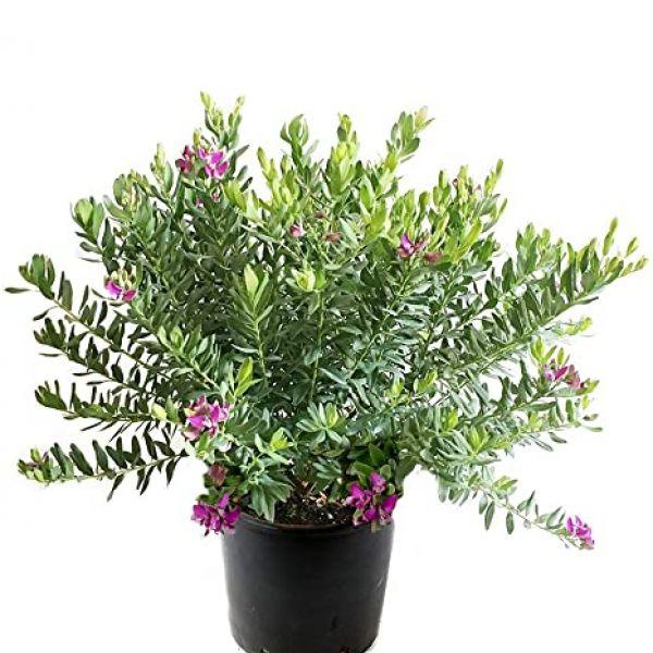 Poligala Myrtifolia 4L